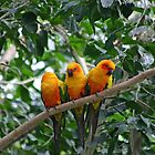 Sun Conures by triciaoshea