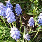 Grape Hyacinth -make a good border by EdsMum