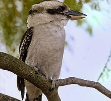 Kookaburra in Jacaranda Tree by Sandra Chung