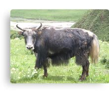The Unhappy Yak Canvas Print