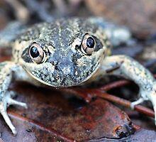 Eastern Banjo Frog by EnviroKey