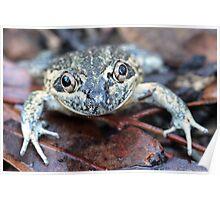 Eastern Banjo Frog Poster