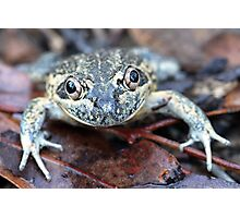 Eastern Banjo Frog Photographic Print