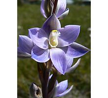 Thelymitra ixiodes  - Spotted Sun-orchid Photographic Print