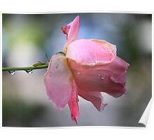 Sherbet rose Poster
