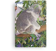 Koala, Queensland, Australia Metal Print