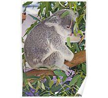 Koala, Queensland, Australia Poster