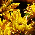 Chrysanthemums #3 by Timothy Wilkendorf