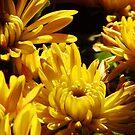 Chrysanthemums #3 by Timothy Wilkendorf