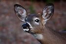 Kiss me! - White-tailed Deer by Jim Cumming