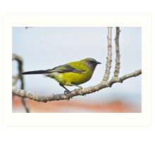 A Belbird. Gore, South Island, New Zealand. Art Print