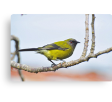 A Belbird. Gore, South Island, New Zealand. Canvas Print