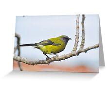A Belbird. Gore, South Island, New Zealand. Greeting Card