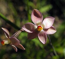 Sun Orchid, Pink (Thelymitra carnea) by Bev Pascoe