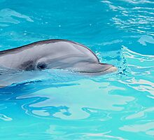 Bottlenose Dolphin by Loree McComb