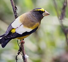 Evening Grosbeak by Deborah  Benoit