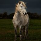 Eriskay Stallion  by David Ford Honeybeez photo