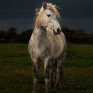 Eriskay Stallion  by David Ford Honeybeez photo