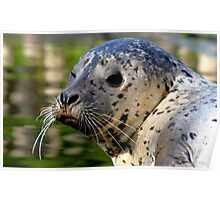 Young Harbor Seal Poster