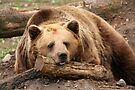 Time for A Nap - Brown Bear at the Bear Forest by Jo Nijenhuis