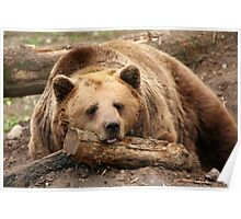 Time for A Nap - Brown Bear at the Bear Forest Poster