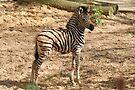 Baby Chapman Zebra by Jo Nijenhuis