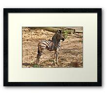 Baby Chapman Zebra Framed Print