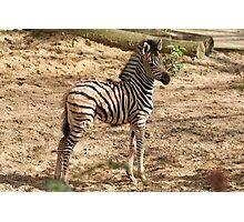 Baby Chapman Zebra Photographic Print