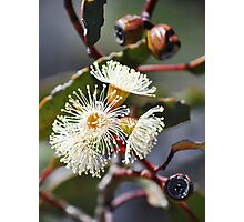 yellow mallee Photographic Print