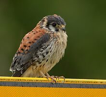 Common Kestrel - I (Falco tinnunculus) by Peter Wiggerman