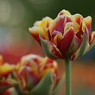 Sunny Tulip by Lindie