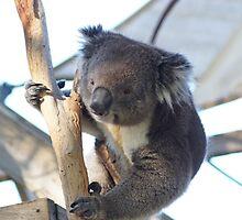 Koala by Steve9