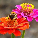 Bee & Zinnias by ©The Creative  Minds