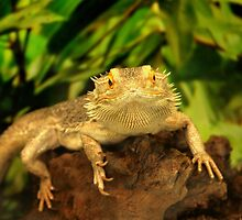 Bearded Dragon by Jo Nijenhuis