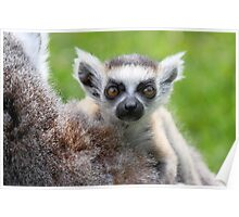 Safe on Mothers Back - Young Ring-tailed Lemur Poster