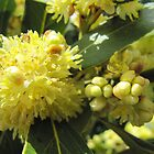 Macro of Bay Tree flowers & buds,Adelaide. S.A. by Rita Blom