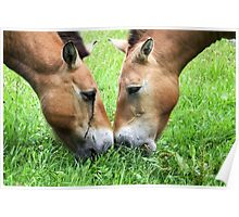 Nose to Nose - Przewalski's horse Poster