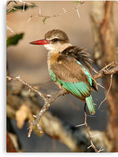 Brown Hooded Kingfisher by Michael  Moss