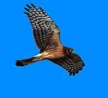 Northern Harrier ~ (Circus cyaneus) by Chuck Gardner