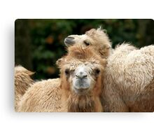 Love you Mom - Bactrian Camel with Baby Canvas Print