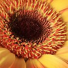 Gerbera Daisy by David Kocherhans