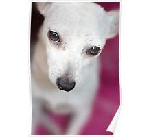 Chihuahua Poster