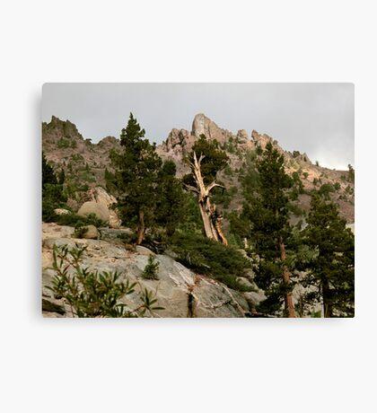 Cedar near Ebbets Pass Sierra Nevada California Canvas Print