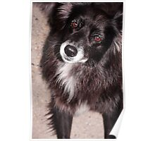 Long Haired Dog Poster