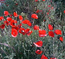 Greece - Flanders Poppies by afton