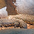 Shingleback Lizards, Queensland, Australia  by Adrian Paul