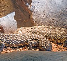Shingleback Lizards, Queensland, Australia  by Adrian Paul