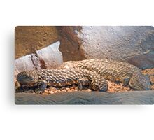 Shingleback Lizards, Queensland, Australia  Metal Print