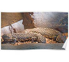 Shingleback Lizards, Queensland, Australia  Poster