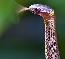 Dwarf Crowned Snake (Cacophis krefftii) by Normf